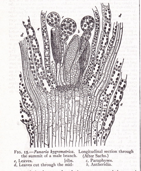 Illustration to entry on Bryphotae (mosses).